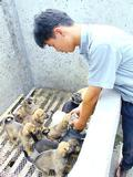 A worker at the Dawn Fine Bred Meat Dog Center in the city of Peixian checks on puppies destined for the dinner table.